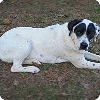 Adopt A Pet :: Roxy- Great Pyr mix 1 year - Gaffney, SC