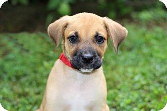 Labrador Retriever Mix Puppy for adoption in Spring Valley, New York - PUPPY PEPPER