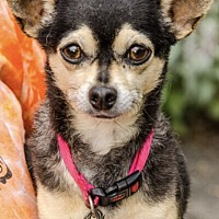 Chihuahua Mix Dog for adoption in Middlebury, Connecticut - Zelda