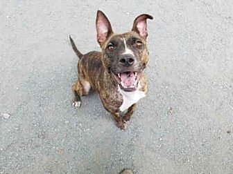American Pit Bull Terrier Dog for adoption in Atlanta, Georgia - KIMMIE