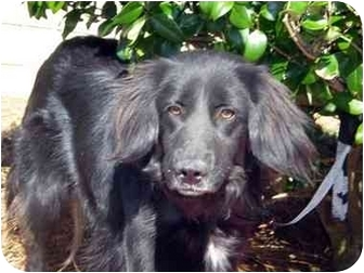 Retriever (Unknown Type)/Irish Setter Mix Dog for adoption in Mobile, Alabama - Buddy