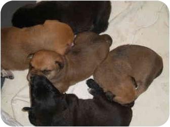 Setter (Unknown Type)/Labrador Retriever Mix Puppy for adoption in Marietta, Georgia - Tai