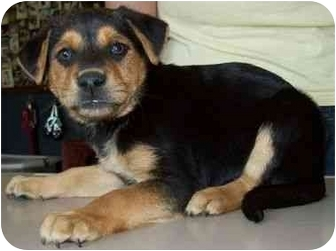 Australian Shepherd/Labrador Retriever Mix Puppy for adoption in North Judson, Indiana - Sony