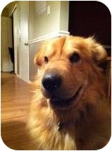 Shar Pei/Golden Retriever Mix Dog for adoption in Manahawkin, New Jersey - Chang
