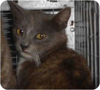 Domestic Shorthair Cat for adoption in Yuba City, California - 1C (Unknown Age)