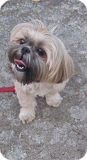 Shih Tzu/Yorkie, Yorkshire Terrier Mix Dog for adoption in Port Orange, Florida - Mia