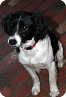 Cocker Spaniel Mix Puppy for adoption in Astoria, New York - King George