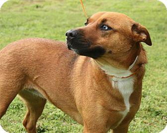 Rhodesian Ridgeback/Australian Cattle Dog Mix Dog for adoption in Westport, Connecticut - *Isis - PENDING