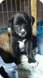 Labrador Retriever/Australian Shepherd Mix Puppy for adoption in Gig Harbor, Washington - Reign