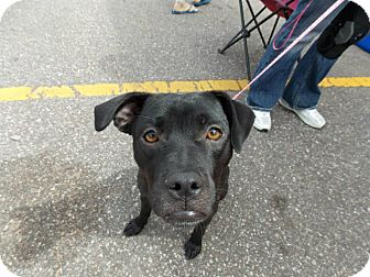 Pug/Terrier (Unknown Type, Medium) Mix Dog for adoption in Hancock, Michigan - Jetta!