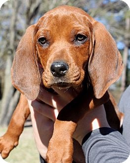 Redbone Coonhound Mix Puppy for adoption in Salem, New Hampshire - LACIE