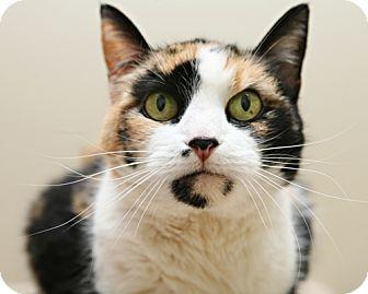Domestic Shorthair Cat for adoption in Bellingham, Washington - Veronica