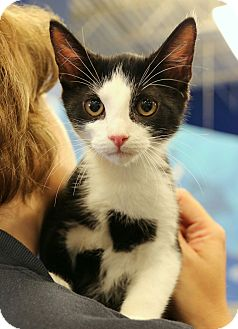 Domestic Shorthair Kitten for adoption in Plano, Texas - PATRICK - HEART ON CHEST!!