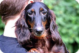 Dachshund Dog for adoption in Beacon, New York - Bebe
