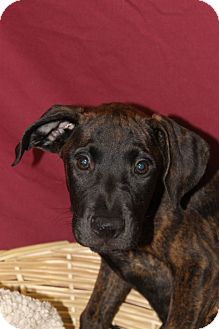 Labrador Retriever Mix Puppy for adoption in Waldorf, Maryland - Stuart