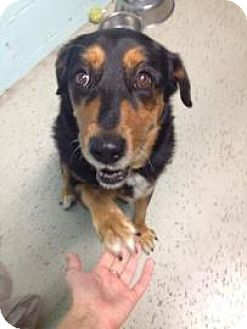 Rottweiler/Retriever (Unknown Type) Mix Dog for adoption in West Des Moines, Iowa - Princess