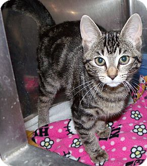 "Domestic Shorthair Kitten for adoption in Muskegon, Michigan - carol ""purr""nett"