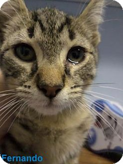 Domestic Shorthair Kitten for adoption in Georgetown, South Carolina - fernando