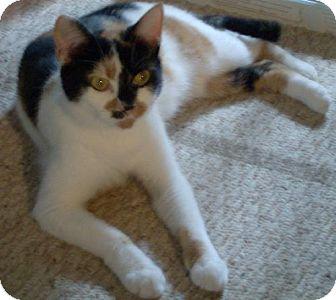 Calico Cat for adoption in Vancouver, Washington - Olivia *Barn Cat*