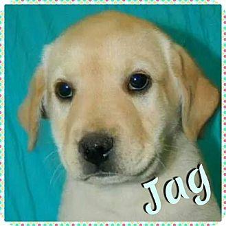 Labrador Retriever Mix Puppy for adoption in Newnan, Georgia - Jag