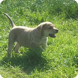 Retriever (Unknown Type) Mix Puppy for adoption in East Hartford, Connecticut - Jordan-Adoption Pending