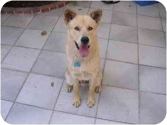 Jindo/Shiba Inu Mix Puppy for adoption in Southern California, California - Louis