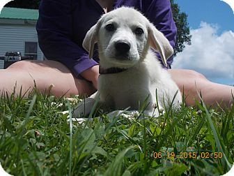 Labrador Retriever/Great Pyrenees Mix Puppy for adoption in Earlville, New York - Brodie