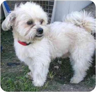 Lhasa Apso Dog for adoption in Coral Springs, Florida - Angel