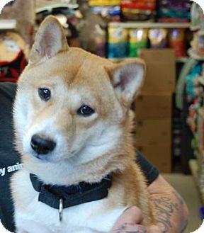 Shiba Inu Mix Dog for adoption in Brooklyn, New York - Christopher
