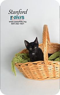 Domestic Shorthair Cat for adoption in Belle Chasse, Louisiana - Stanford