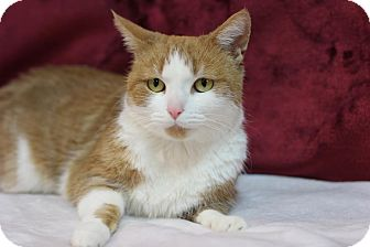 Domestic Shorthair Cat for adoption in Midland, Michigan - Holly Jolly - $10!