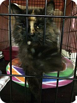 Polydactyl/Hemingway Cat for adoption in Byron Center, Michigan - Sunny