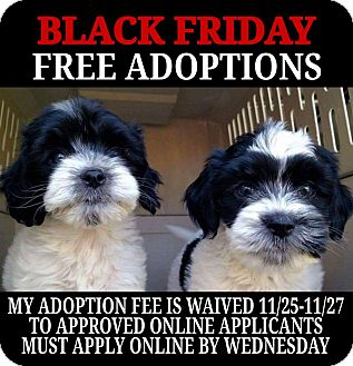 Shih Tzu Mix Puppy for adoption in Cincinnati, Ohio - Rhodes-WAIVED FEE