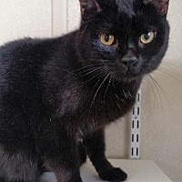 Domestic Shorthair Cat for adoption in Fremont, Ohio - Onyx