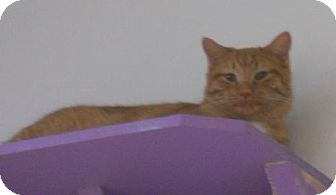 Domestic Shorthair Cat for adoption in Belleville, Michigan - Twinkie