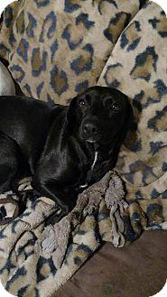 Labrador Retriever/Beagle Mix Dog for adoption in Blountstown, Florida - Bella