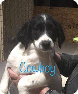 Shepherd (Unknown Type)/Husky Mix Puppy for adoption in El Paso, Texas - Cowboy