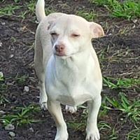 Adopt A Pet :: Ringo - Pompano Beach, FL