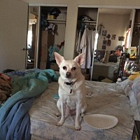 Chihuahua/Shepherd (Unknown Type) Mix Dog for adoption in Van Nuys, California - Urgent - Amy