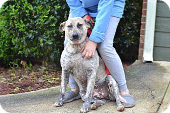 Australian Cattle Dog Mix Dog for adoption in Acworth, Georgia - Fabric Mom - Joy