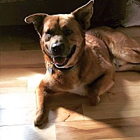 Chow Chow/Shepherd (Unknown Type) Mix Dog for adoption in Columbus, Ohio - Grover