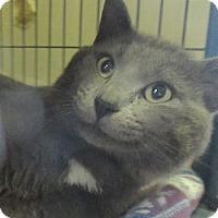 Domestic Shorthair Cat for adoption in Lloydminster, Alberta - Dallas