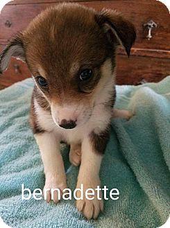 Border Collie/Rat Terrier Mix Puppy for adoption in Providence, Rhode Island - Bernadette Newberry