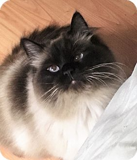 Domestic Longhair Cat for adoption in Vancouver, British Columbia - Versace