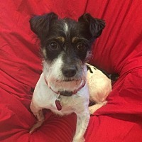 Jack Russell Terrier/Terrier (Unknown Type, Medium) Mix Dog for adoption in Tomball, Texas - Bojangles