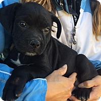 Adopt A Pet :: Duke (9 lb) Video - Williamsport, MD