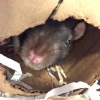 Adopt A Pet :: Whiskers - Williamsburg, VA