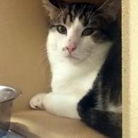 Adopt A Pet :: Lassiter - Saskatoon, SK