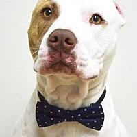 Adopt A Pet :: Amigo - Dublin, CA