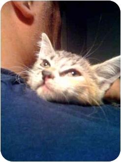 Domestic Shorthair Kitten for adoption in New Rochelle, New York - Crystal